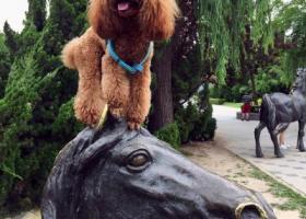 寻狗启示,麻麻没有放弃你,我的宝贝儿卷卷!我们一直在寻找你,寻找抱走你的人,它是一只非常可爱的宠物狗狗,希望它早日回家,不要变成流浪狗。