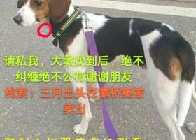 寻狗启示,五千元,寻找灞桥集被买走的成犬母比格,请买到者联系我。,它是一只非常可爱的宠物狗狗,希望它早日回家,不要变成流浪狗。