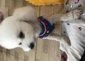 寻狗启示,北京上庄蘑菇园捡到的小白狗,它是一只非常可爱的宠物狗狗,希望它早日回家,不要变成流浪狗。
