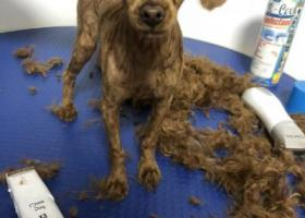 寻狗启示,天津河西区国风园丢失泰迪,它是一只非常可爱的宠物狗狗,希望它早日回家,不要变成流浪狗。
