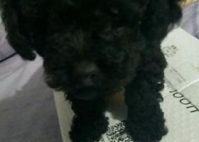 寻狗启示,林枫苑丢失黑色泰迪一只,它是一只非常可爱的宠物狗狗,希望它早日回家,不要变成流浪狗。