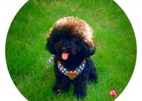 寻狗启示,【杭州寻狗启示】-一直纯黑色的小泰迪,它是一只非常可爱的宠物狗狗,希望它早日回家,不要变成流浪狗。