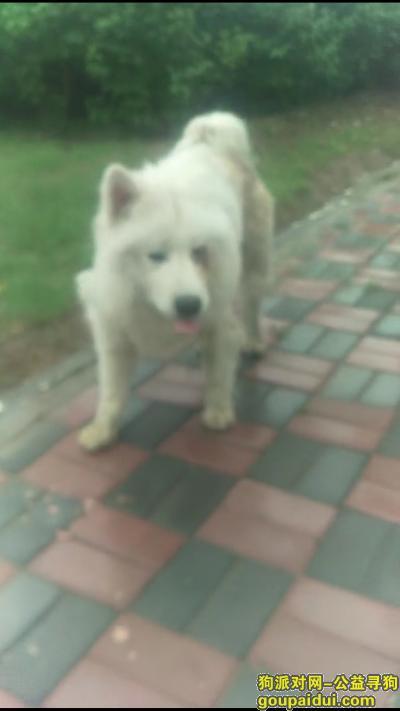 寻狗启示,捡到萨摩成年公狗,在马路上流浪很危险大家救救他,它是一只非常可爱的宠物狗狗,希望它早日回家,不要变成流浪狗。