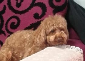 寻狗启示,青岛崂山区寻找棕色泰迪,脖子套有蓝色狗绳(15865528280),它是一只非常可爱的宠物狗狗,希望它早日回家,不要变成流浪狗。