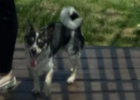 寻狗启示,寻找黑白花的吉娃娃串串,它是一只非常可爱的宠物狗狗,希望它早日回家,不要变成流浪狗。