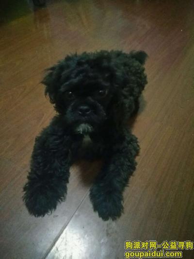 寻狗启示,捡到一只1岁左右黑色泰迪没有断尾,它是一只非常可爱的宠物狗狗,希望它早日回家,不要变成流浪狗。