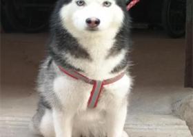 寻狗启示,北京昌平回龙观寻找一只哈士奇,它是一只非常可爱的宠物狗狗,希望它早日回家,不要变成流浪狗。