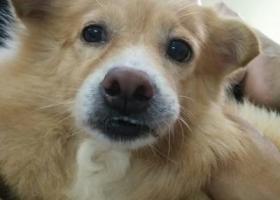 寻狗启示,今天早上9点半在横沥油榨村走失,它是一只非常可爱的宠物狗狗,希望它早日回家,不要变成流浪狗。