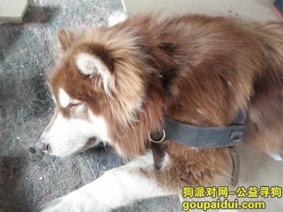 寻狗启示,阿拉斯加寻主人,急急急,它是一只非常可爱的宠物狗狗,希望它早日回家,不要变成流浪狗。