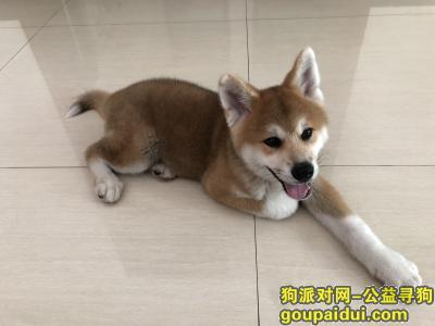 寻狗启示,寻找3个月大的秋田犬,重酬,它是一只非常可爱的宠物狗狗,希望它早日回家,不要变成流浪狗。