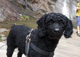 寻狗启示,寻找黑色中型泰迪,名字叫牛牛,它是一只非常可爱的宠物狗狗,希望它早日回家,不要变成流浪狗。