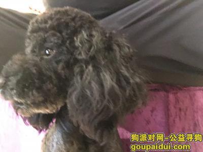 寻狗启示,帮帮忙找找我的狗狗泰迪黑色有些白毛不明显,它是一只非常可爱的宠物狗狗,希望它早日回家,不要变成流浪狗。