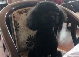 寻狗启示,寻找一只纯黑色的小泰迪,名字叫仔仔,它是一只非常可爱的宠物狗狗,希望它早日回家,不要变成流浪狗。