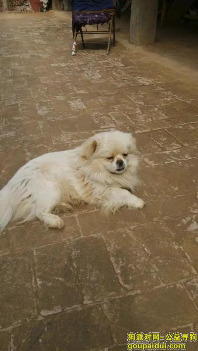 寻狗启示,寻找一个白色带褐色的小狮子狗,它是一只非常可爱的宠物狗狗,希望它早日回家,不要变成流浪狗。