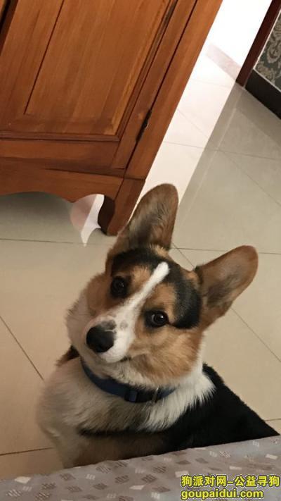 寻狗启示,北京市西城区辟才胡同宏汇园小区寻找柯基犬,它是一只非常可爱的宠物狗狗,希望它早日回家,不要变成流浪狗。