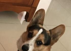 北京市西城区辟才胡同宏汇园小区寻找柯基犬