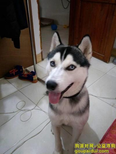 ,信宜寻哈士奇,在大永利附近丢失。。,它是一只非常可爱的宠物狗狗,希望它早日回家,不要变成流浪狗。
