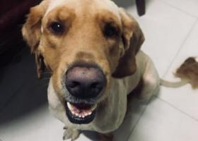 寻狗启示,深圳坂田天虹,刚剃完毛不久的金毛!,它是一只非常可爱的宠物狗狗,希望它早日回家,不要变成流浪狗。
