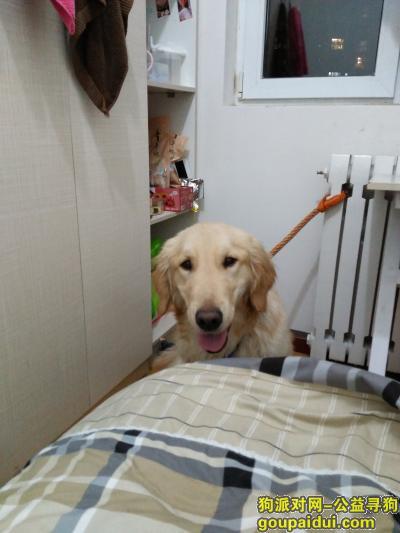 寻狗启示,本人于门头沟区黑山大街捡到金毛宝宝,它是一只非常可爱的宠物狗狗,希望它早日回家,不要变成流浪狗。