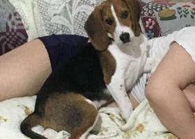 寻狗启示,丢失比格狗狗一只名叫富贵,它是一只非常可爱的宠物狗狗,希望它早日回家,不要变成流浪狗。