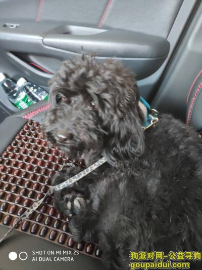 寻狗启示,5月22号晚上捡到一只黑色泰迪妹妹,寻找主人,它是一只非常可爱的宠物狗狗,希望它早日回家,不要变成流浪狗。
