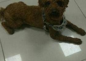 寻狗启示,寻找爱犬泰迪刚剃毛短,它是一只非常可爱的宠物狗狗,希望它早日回家,不要变成流浪狗。