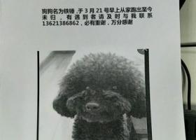 寻狗启示,大兴黄村走失黑色泰迪铁锤 寻回必有重谢!!!,它是一只非常可爱的宠物狗狗,希望它早日回家,不要变成流浪狗。