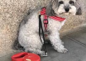 北京石景山寻银灰色泰迪狗狗