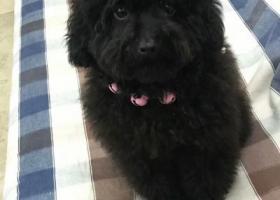 一直黑色的泰迪狗,名字叫做奥利奥