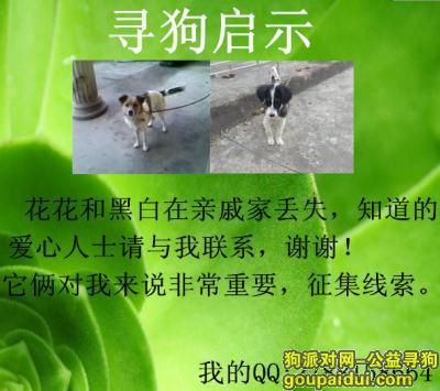 ,我的花花和黑白丢失了,它是一只非常可爱的宠物狗狗,希望它早日回家,不要变成流浪狗。