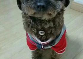 寻狗启示,松江九亭青年城酬谢两千元寻找泰迪,它是一只非常可爱的宠物狗狗,希望它早日回家,不要变成流浪狗。
