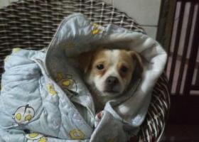 寻狗启示,有哪位好心人看到,请回复我,它是一只非常可爱的宠物狗狗,希望它早日回家,不要变成流浪狗。