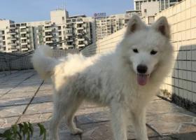 寻狗启示,东莞鸿福路口,萨摩耶急寻狗主,它是一只非常可爱的宠物狗狗,希望它早日回家,不要变成流浪狗。