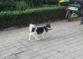 寻狗启示,两只都是没主人的流浪狗,它是一只非常可爱的宠物狗狗,希望它早日回家,不要变成流浪狗。