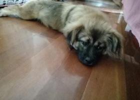 寻狗启示,苏州园区天域小区附近捡到走失狗一只,它是一只非常可爱的宠物狗狗,希望它早日回家,不要变成流浪狗。