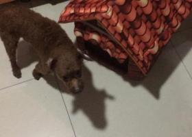 寻找爱犬七岁棕色泰迪双耳有明显白色脱毛2000酬谢