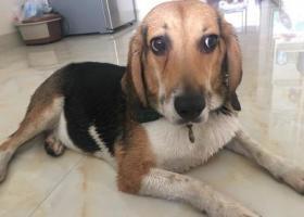 寻狗启示,在江南区谁丢失了一只比格?漂亮的狗狗,它是一只非常可爱的宠物狗狗,希望它早日回家,不要变成流浪狗。