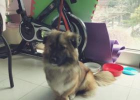 寻狗启示,3.26 上海嘉定北地铁站捡到黄色狗狗,它是一只非常可爱的宠物狗狗,希望它早日回家,不要变成流浪狗。