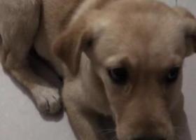 寻狗启示,5月29日北京通州区永顺镇西潞园小区附近丢失黄色拉布拉多一只,它是一只非常可爱的宠物狗狗,希望它早日回家,不要变成流浪狗。