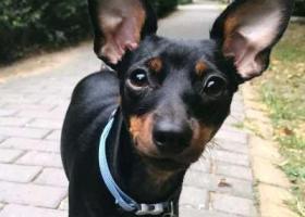 寻狗启示,寻找小鹿犬奥莉,回家!!!,它是一只非常可爱的宠物狗狗,希望它早日回家,不要变成流浪狗。