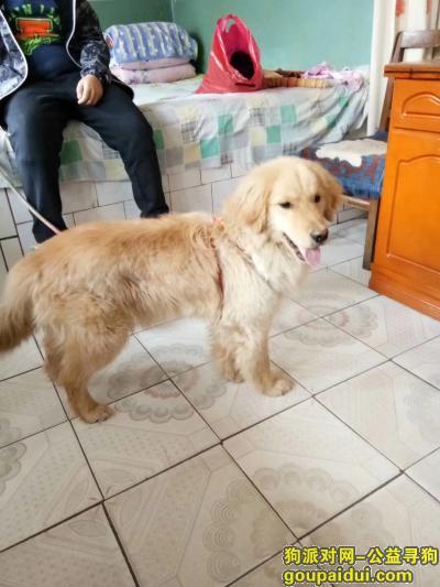 临夏寻狗启示,临夏老路口附近丢失一条金毛,它是一只非常可爱的宠物狗狗,希望它早日回家,不要变成流浪狗。