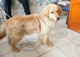 寻狗启示,临夏老路口附近丢失一条金毛,它是一只非常可爱的宠物狗狗,希望它早日回家,不要变成流浪狗。
