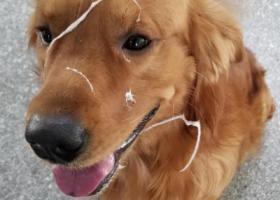 寻狗启示,寻金毛犬酬金6000二月份在龙岗沙湾附近走丢,它是一只非常可爱的宠物狗狗,希望它早日回家,不要变成流浪狗。