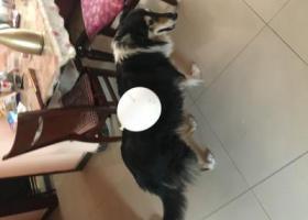 寻狗启示,北京西单寻狗!必有重谢!,它是一只非常可爱的宠物狗狗,希望它早日回家,不要变成流浪狗。
