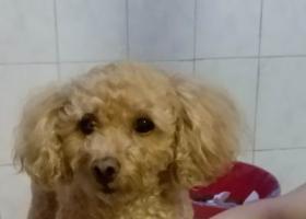 寻狗启示,2018年6月2晚捡香槟泰迪,它是一只非常可爱的宠物狗狗,希望它早日回家,不要变成流浪狗。