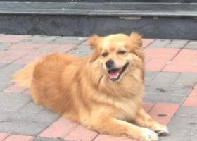 寻狗启示,寻找九岁爱犬博美串串,它是一只非常可爱的宠物狗狗,希望它早日回家,不要变成流浪狗。