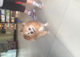 寻狗启示,从派出所救出的博美串寻失主,它是一只非常可爱的宠物狗狗,希望它早日回家,不要变成流浪狗。