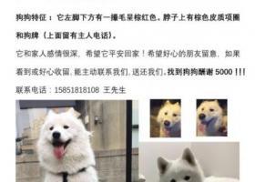 寻狗启示,南京市六合区葛塘松杨路酬谢五千元寻找萨摩,它是一只非常可爱的宠物狗狗,希望它早日回家,不要变成流浪狗。