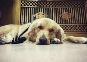 寻狗启示,爱犬拉菲,三岁,腰部毛发卷曲,重金答谢,它是一只非常可爱的宠物狗狗,希望它早日回家,不要变成流浪狗。