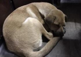 寻狗启示,上海中华田园犬 寻主人,它是一只非常可爱的宠物狗狗,希望它早日回家,不要变成流浪狗。